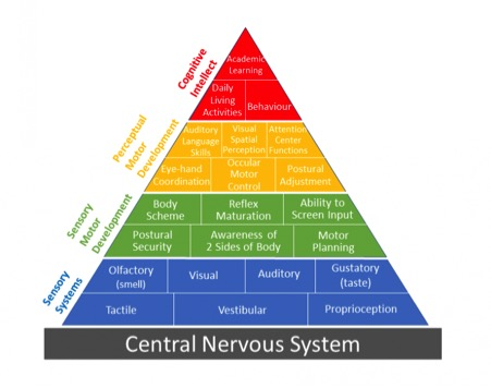 Pyramid showing central nervous system